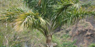 Palma de Sagú