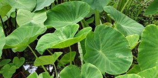 Taro (Colocasia-esculenta)