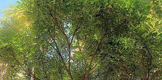 Árbol Del Paraíso