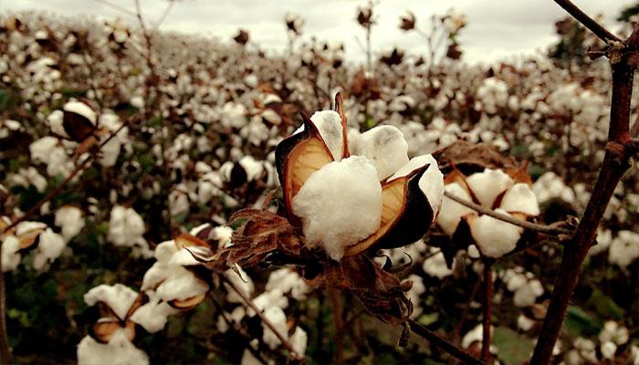Campo de plantas de algodón o algodonero