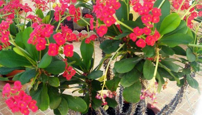 Hermosas flores de corona de Cristo
