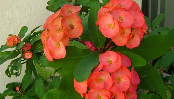 Flores corona de Cristo