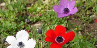 flor ojo de perdiz