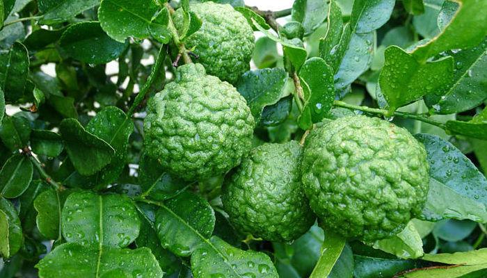 lima citrico cultivo