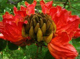 tulipero