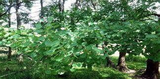 Álamo temblón (Populus tremula )