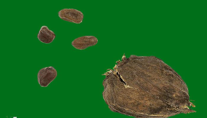 Descripción gráfica del fruto