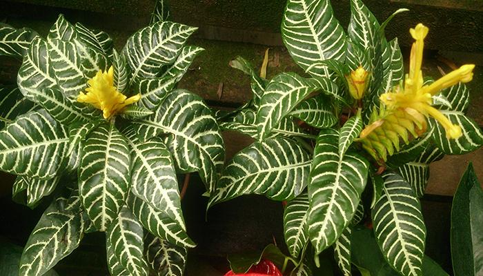 Afelandra (Aphelandra squarrosa)