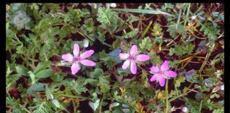 Alfilerillo (Erodium cicutarium)