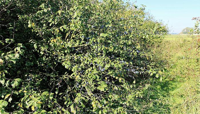 Endrino (Prunus espinosa)