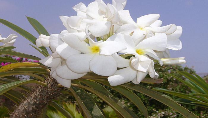 Flor de Pachypodium