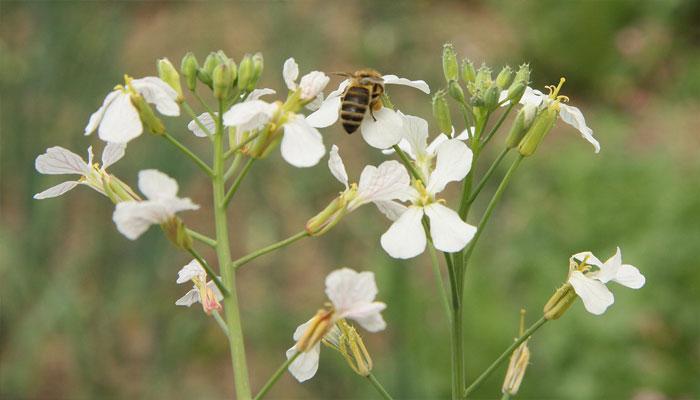 Flor de Rábano siendo polinizada por la abeja