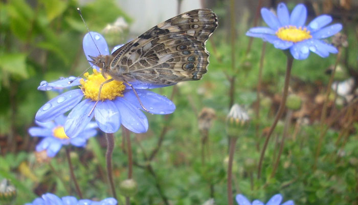 Margarita azul polinizada por mariposa