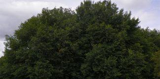 Negrillo (Ulmus minor)
