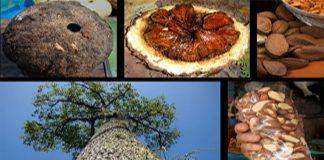 Nuez de Brasil (Bertholletia excelsa)