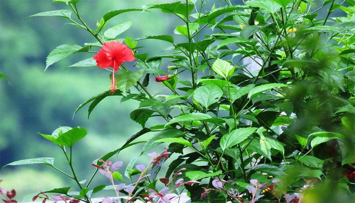 Pacífica (Hibiscus rosa-sinensis)