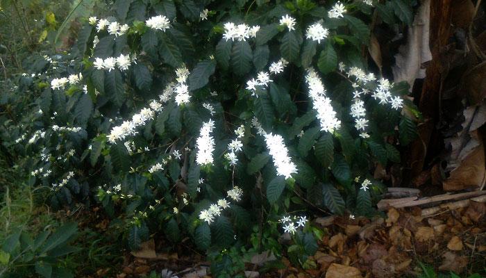 Planta de café con sus flores