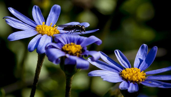Polinización de la margarita azul