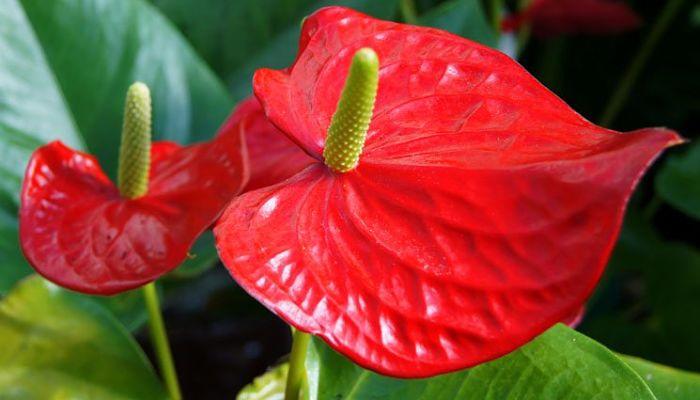 flores de anthurium