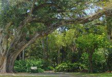 Árbol sagrado (Ficus religiosa)