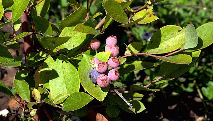 variedades de uva de monte