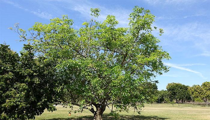 Matasano (Casimiroa edulis)