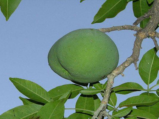 El fruto es de piel delgada y