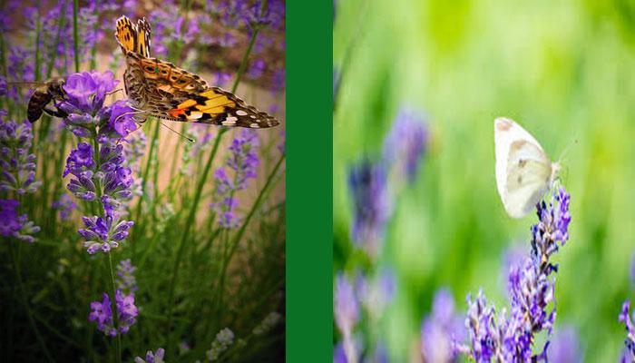 Atrae a muchas mariposas y abejas.