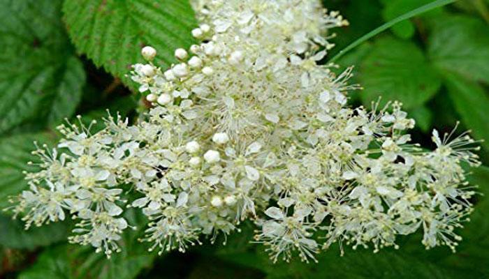 Las flores son blancas, cremosas y fragantes