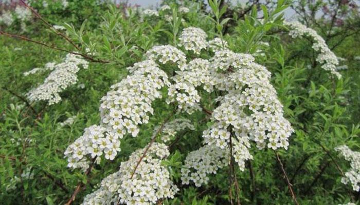 El Norotil es una planta medicinal