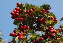 El fruto es una baya, y lleva dentro una semilla de color marrón