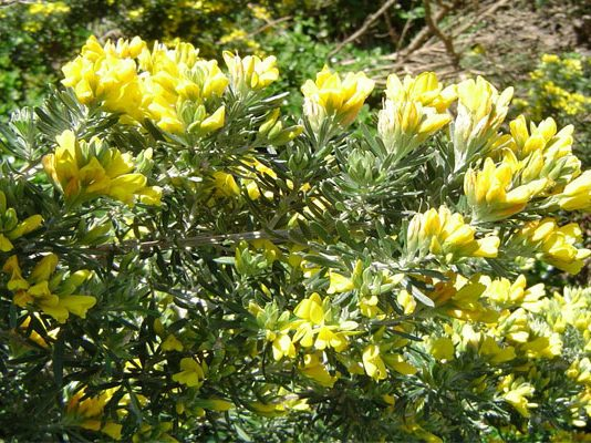 Genista linifolia es un arbusto vertical y extendido