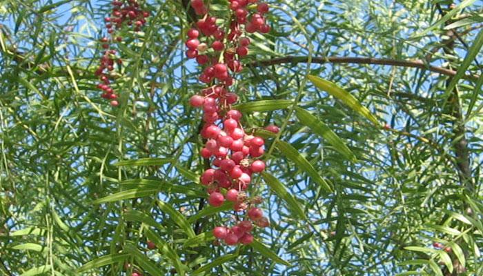 Los frutos se parecen a pequeñas bayas
