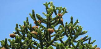Planta de rompecabezas de mono exhibiendo su imponente follaje y sus frutos