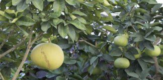 Shaddock (Citrus maxima )