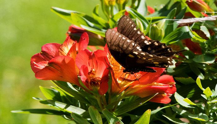 Sus flores atraen a las mariposas