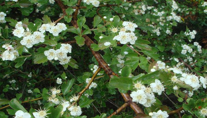 Sus flores tiene cinco pétalos y están dispuestas en densos racimos