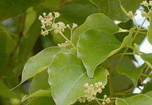 árbol de alcanfor