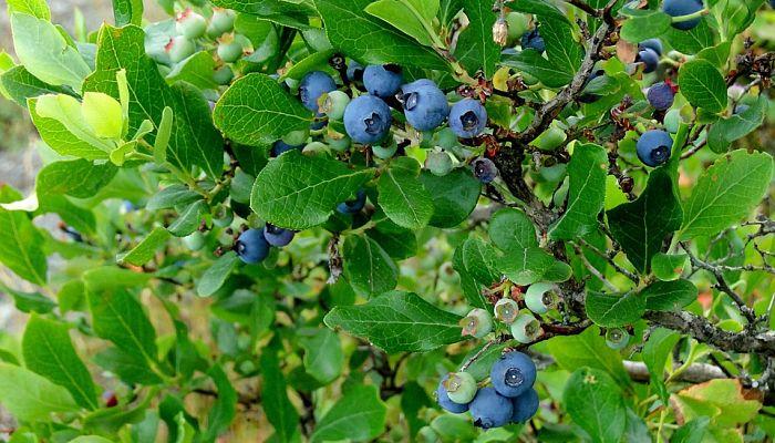 origen de la uva de monte