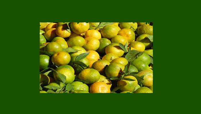 Los frutos son ricos en vitamina C, flavonoides, ácidos y aceites volátiles.
