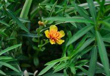 Estragón Artemisia dracunculus