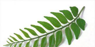 hojas de curry