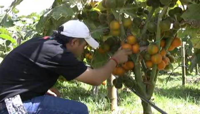 Cultivo de Naranjilla