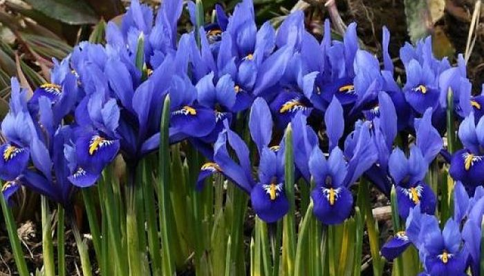 planta de iris