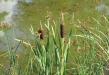 la Typha crece en una variedad de tipos de suelo