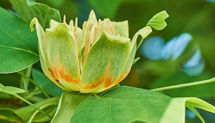 flores del tulipero de virginia