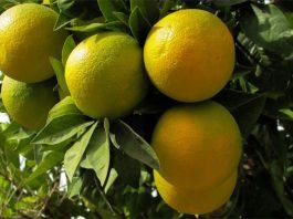 Lima dulce (Citrus limettioides)