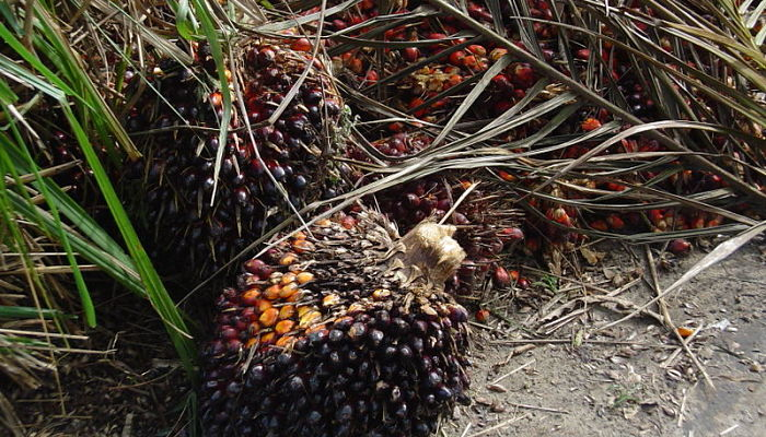 palma de aceite de palma