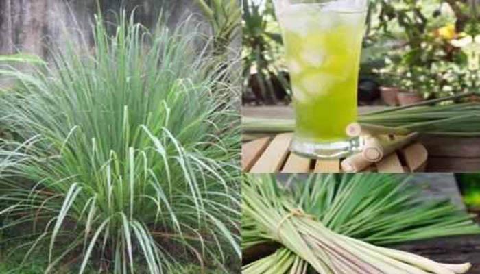 Planta de limoncillo