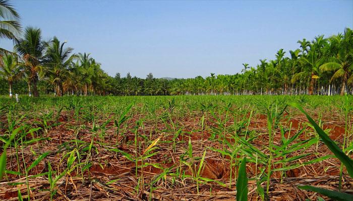 Campo de cultivo de la nuez